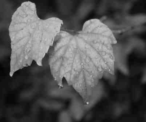 b&w, black and white, and leaf image