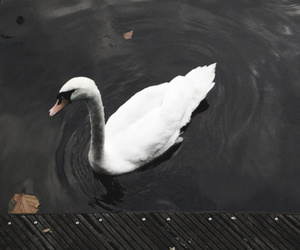 amsterdam, Swan, and water image