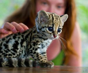 ocelot and this is not leopard image