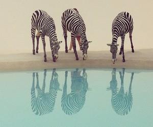 animals, zebras, and animal world image