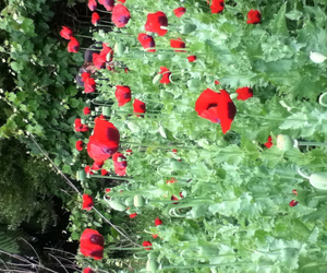 flowers, garden, and poppy image