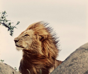 lion, animal, and nature image