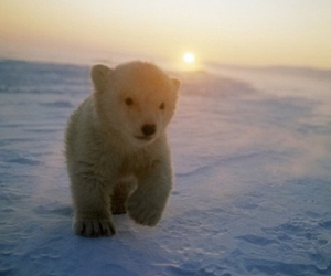 bear, cute, and Polar Bear image