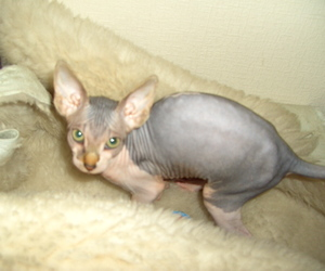 cat, cute, and sphynks image