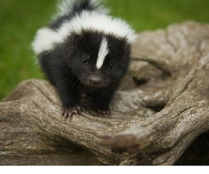 skunk, cute, and baby image