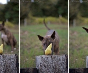 bull terrier, dog, and pear image