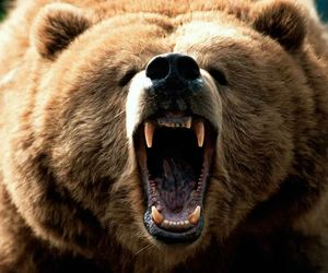 bear, animal, and grizzly image