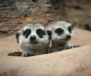cute animals and meercats image