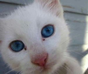 blue eyes and kitty image