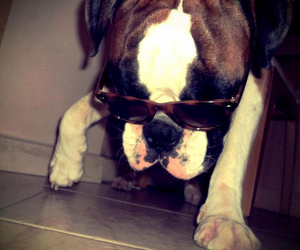 boxer, sunglasses, and boxer dog image