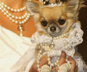chihuahua, lace, and pearls image