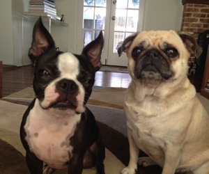 boston terrier, coco, and dogs image