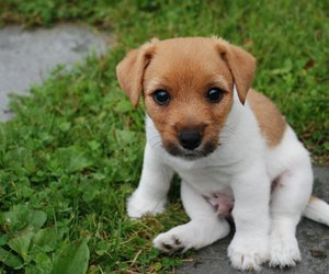 jack russel terrier and puppy image