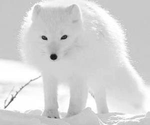 white, snow, and fox image
