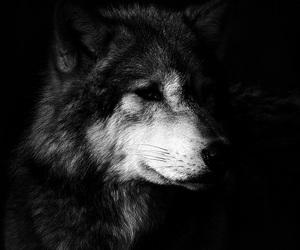 animal, animals, and black & white image