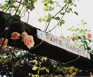 rose, flowers, and garden image