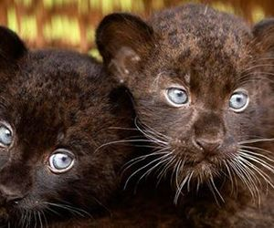 animal, cub, and panther image