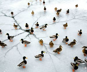 ducks and ice image