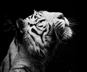 animal, tiger, and tumblr image