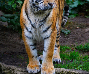 orange tiger image