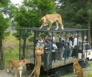 people tigers and lions amimals image