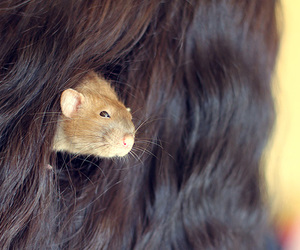 hair and rat image