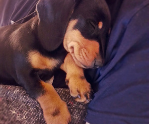 adorable, bella, and dachshund image