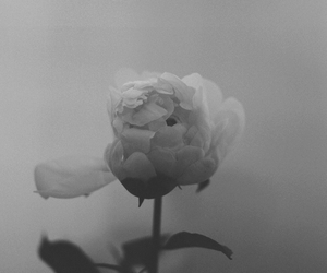 flowers, rose, and pale image