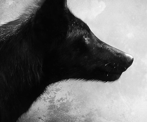 black, wolf, and white image