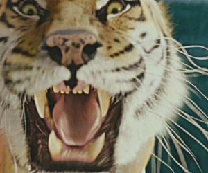 roar pic lol cute tiger image