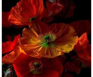 flowers, orange, and poppy image