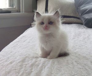 animals, blue eyes, and fluffy image