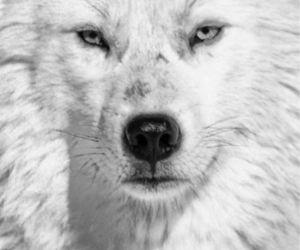 wolf, beautiful, and white image