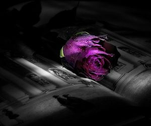 beauty, purple, and rose image