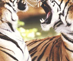 fighting, wild, and tigers image