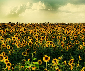 field, flowers, and sunflowers image