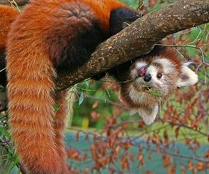 Red panda and animal image