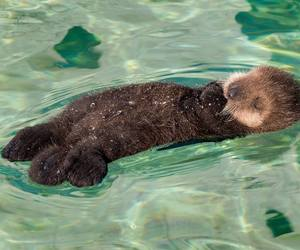 animal, otter, and water image