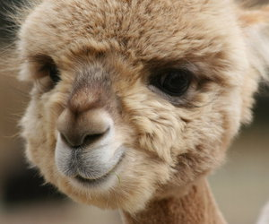 cute, animal, and alpaca image