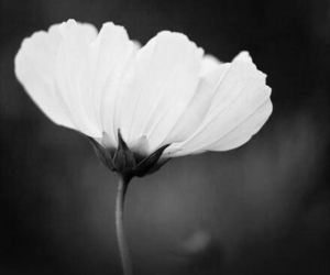 black and white, flower, and pure image