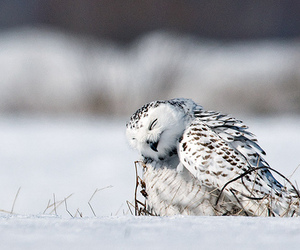 owl, snow, and cute image