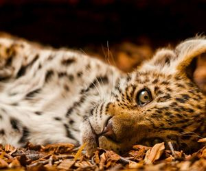 baby, leopard, and roar image