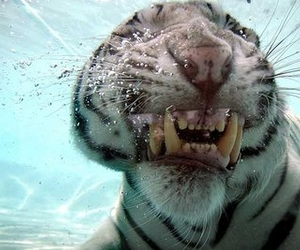 underwater, bengal, and begal tiger image