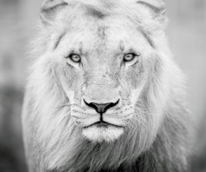 lion, black and white, and animal image
