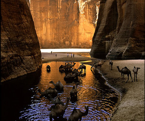 camels and cool off image