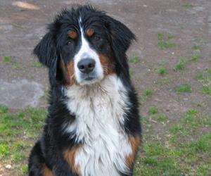 dog, love, and berner senner image