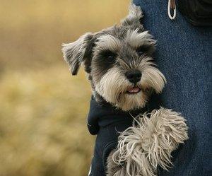 dog, animal, and schnauzer image