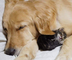 baby, cat, and golden retriever image