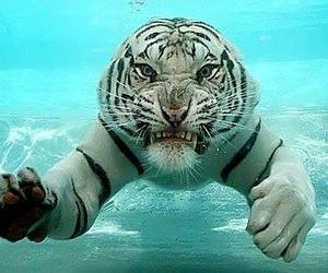 tiger, tigre, and water image