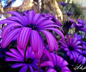 daisy, flowers, and purple image